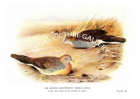 Fine art Print of the Dove, the Barred Ground